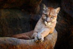 Wilder große Katze Puma, Puma concolor, verstecktes Porträt des gefährlichen Tieres mit Stein, USA Szene der wild lebenden Tiere  stockfoto