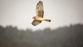 Wilder Hawk Flying Over Forest, Farbbild Lizenzfreie Stockbilder