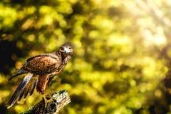 Wilder Hawk Perched auf dem Stumpf, der Sie betrachtet Stockfotos