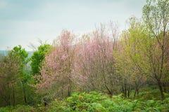 Wilder Himalaja-Cherry Blossoms in Phu Lom Lo Thailand Lizenzfreie Stockfotografie