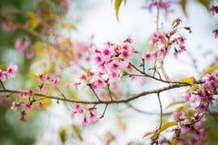 Wilder Himalaja-Cherry Blossoms in Phu Lom Lo Thailand Lizenzfreies Stockfoto