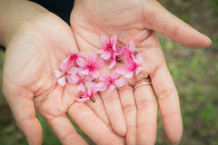 Wilder Himalaja-Cherry Petel On Hand Lizenzfreies Stockbild