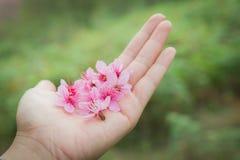 Wilder Himalaja-Cherry Petel On Hand Lizenzfreies Stockfoto