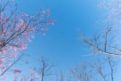Wilder Himalajakirschbaum verzweigt sich Überdachung - Herbst gefallener Blatthintergrund Stockbild