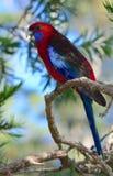 Wilder hochroter rosella Papagei in Australien Stockfoto