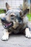 Wilder Hund Abstreifens draußen Der Hund schaut aggressiv, gefährlich und wird durch Tollwut angesteckt möglicherweise Lizenzfreie Stockfotografie