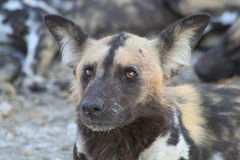 Wilder Hund in Botswana Stockfotos