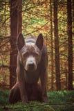Wilder Hund im Wald Stockbild