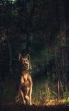 Wilder Hund im Wald Stockfotografie