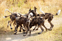 Wilder Hund - Okavango-Delta - Moremi N P Lizenzfreie Stockbilder