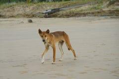Wilder HundDingo Lizenzfreie Stockfotografie