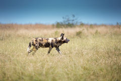 Wilder Hunde-Reihe Stockfotos