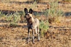 Wilder Hundeanpirschendes Opfer Stockfoto