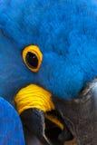 Wilder Hyacinth Macaw-Abschluss oben Stockfoto