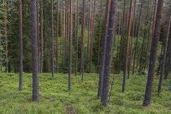 Wilder immergrüner Wald Stockfotografie