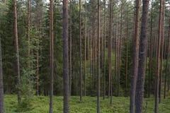 Wilder immergrüner Wald Stockbild