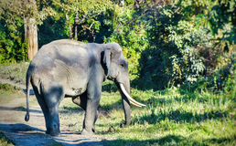 Wilder indischer Elefant Stockfoto