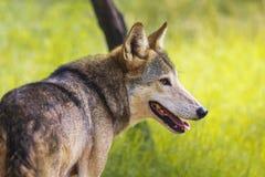 Wilder indischer Wolf im Dschungel stockfotografie
