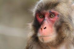 Wilder japanischer Affe in Beppu, Japan Stockbild