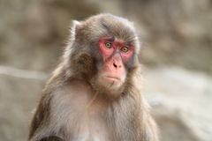 Wilder japanischer Affe in Beppu, Japan Stockfotos
