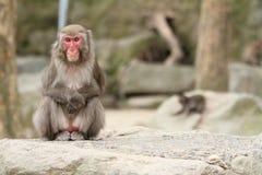 Wilder japanischer Affe in Beppu, Japan Stockfoto