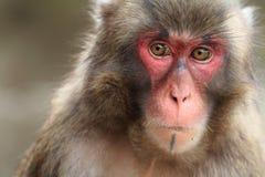 Wilder japanischer Affe in Beppu, Japan Lizenzfreies Stockfoto