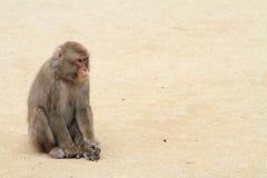 Wilder japanischer Affe in Beppu, Japan Stockbilder