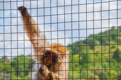 Wilder japanischer Affe hinter Gittern Stockfoto