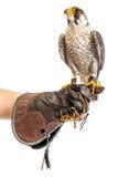 Wilder junger Falke auf dem Trainerhandschuh lokalisiert stockbilder