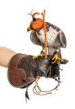 Wilder junger Falke mit Kappe auf dem Trainerhandschuh lokalisiert stockfoto