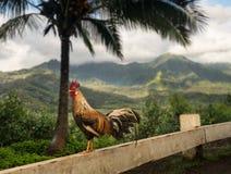 Wilder junger Hahn bei Princeville übersehen Kauai Lizenzfreie Stockbilder
