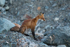 Wilder junger roter Fuchs in der natürlichen Einstellung in Dämmerung Nordwest-Territorien Lizenzfreie Stockfotografie