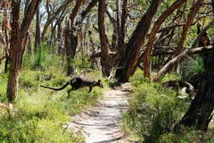Wilder Känguru Stockfoto