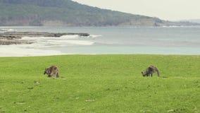 Wilder Känguru im Nationalpark Murramarang stock footage