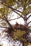 Wilder kahler Adler auf Nest Stockfotos