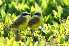 Wilder Kanarienvogel Lizenzfreies Stockbild