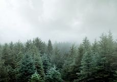 Wilder Kiefern-Forest In Low Clouds And-Nebel stockfotografie