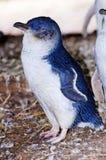 Wilder kleiner Pinguin Lizenzfreie Stockfotos