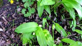 Wilder Knoblauch im Frühjahr, Gemüse- und medizinisches Kraut in einem deutschen Wald stock footage