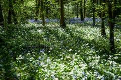 Wilder Knoblauch im Wald Lizenzfreie Stockfotos
