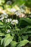 Wilder Knoblauch mit Blüten Stockbilder