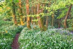 Wilder Knoblauch und Glockenblumen Stockfotografie