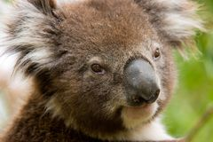 Wilder Koala, Australien Stockfotos