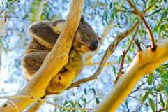 Wilder Koala betreffen einen Baum Lizenzfreies Stockfoto