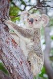 Wilder Koala, der einen Baum steigt Lizenzfreies Stockfoto
