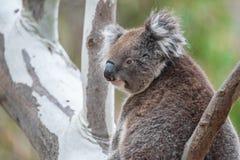 Wilder Koala im Eukalyptus Lizenzfreies Stockbild