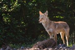 Wilder Kojote Stockbild