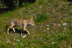Wilder Kojote Stockfotos