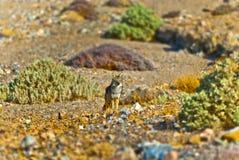 Wilder Kojote Lizenzfreie Stockfotos