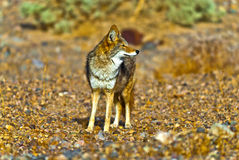Wilder Kojote Lizenzfreie Stockbilder